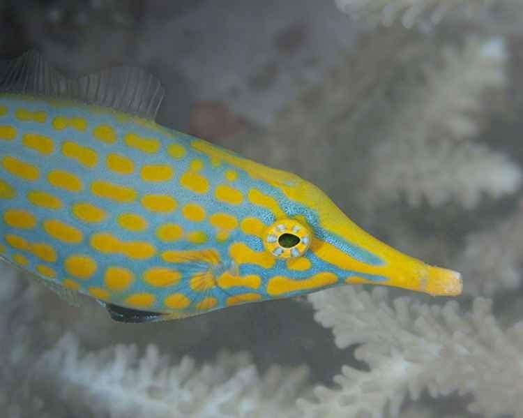 Harlequin Filefish, Oxymonacanthus longirostris, Fiji