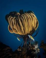 crinoid, cridoidea