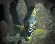 Maypolet Butterflyfish, Chaetodon meyerii
