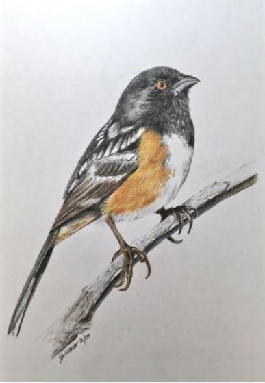 Spotted Towhee, Pipilo Maculatus by Janis Trowbridge-Howes $200