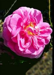WEB Prather_Anne_Princess_rose