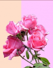 WEB Prather_Anne_Gift_of_the_Rose