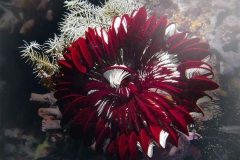 Red and white crinoid, crinozoa, crinodea