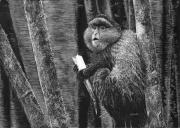 WEB Golden Monkey, Rwanda by Elizabeth Smith $400