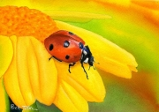 WEB Ladybug Fly Away Home by Rick Tuthill $250