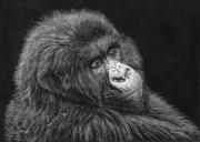 WEB Mountain Gorilla, Rwanda by Elizabeth Smith $400