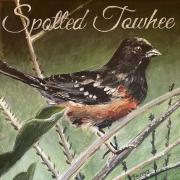 WEB Spotted Towhee by Paula Perez $250