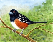 WEB Spotted Towhee by Roger Baker $100